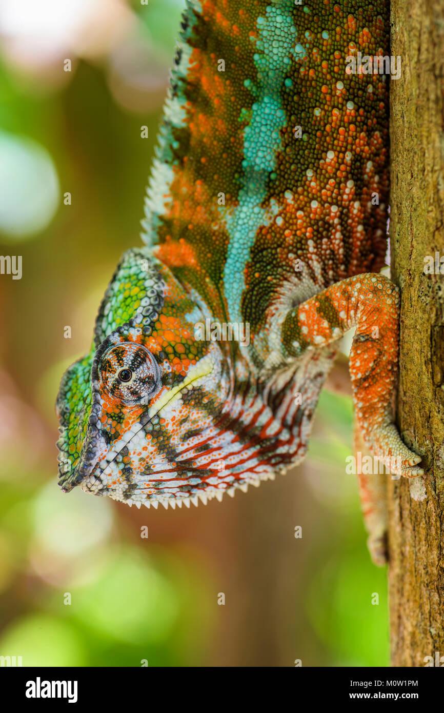 Panther Chamäleon Furcifer pardalis, Madagaskar. Schöne Echse aus Madagaskar Regenwald. Endemische bunten Stockbild