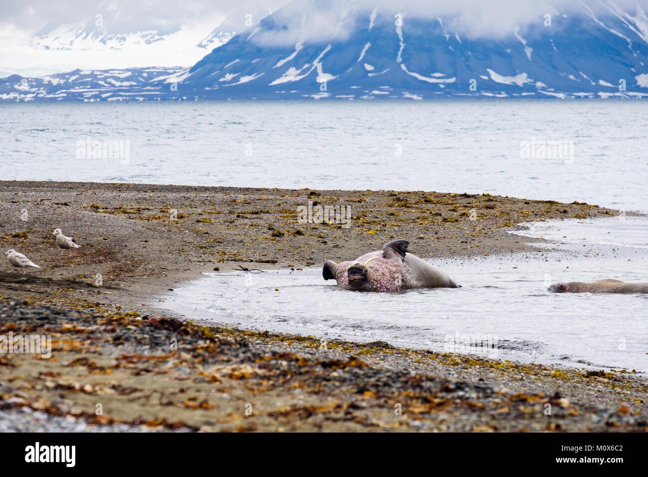 Nach Walruse (Odobenus rosmarus) Rollen auf dem Rücken im Meer auf der arktischen Küste im Sommer. Insel Spitzbergen, Stockfoto
