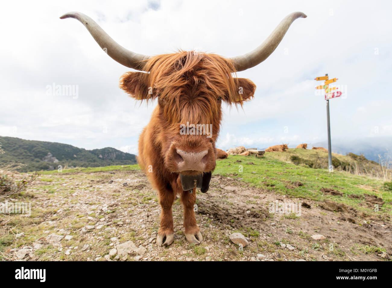 Scottish Highland Cattle (Bos taurus), Wanderweg in der Nähe von Bogno, Tessin, Schweiz Stockbild