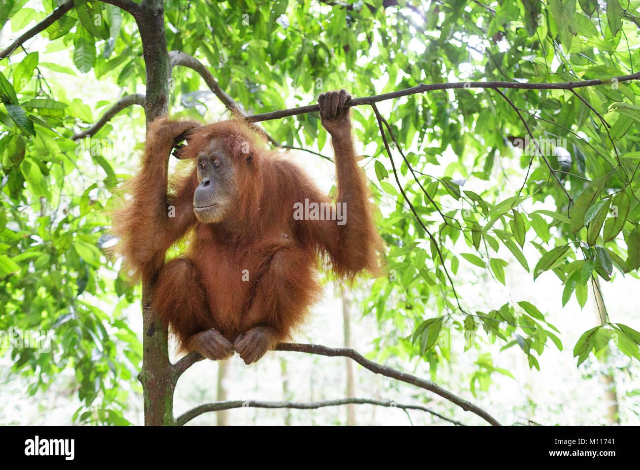 Erwachsene Frau Orang-utan hängen von Ästen im Gunung Leuser Nationalpark, Sumatra, Indonesien. Stockbild