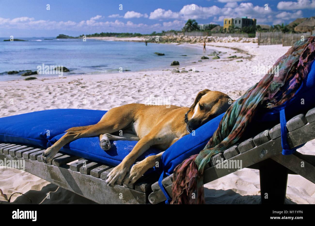 mexiko halbinsel yucatan tulum hund auf dem liegestuhl hund auf dem liegestuhl am strand. Black Bedroom Furniture Sets. Home Design Ideas