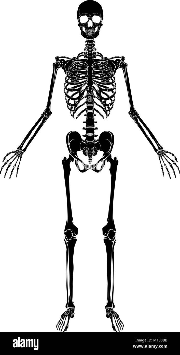 Die menschliche Anatomie Skelett Vektor Abbildung - Bild: 172784511 ...