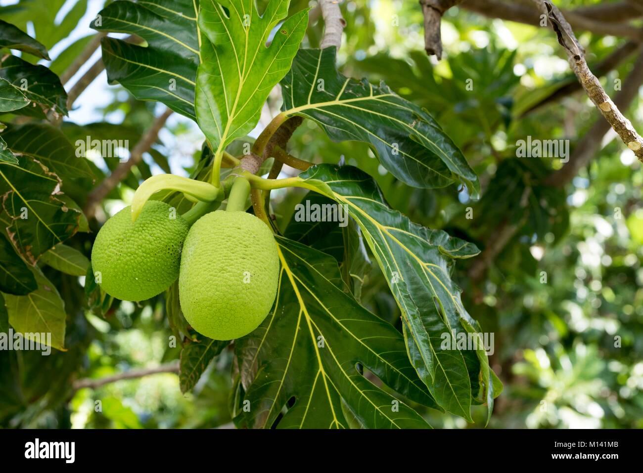 Frankreich, Französisch Polynesien, Marquesas Archipel, Ua Huka Insel, Hane, Brotfruchtbaum (Artocarpus altilis) Stockbild