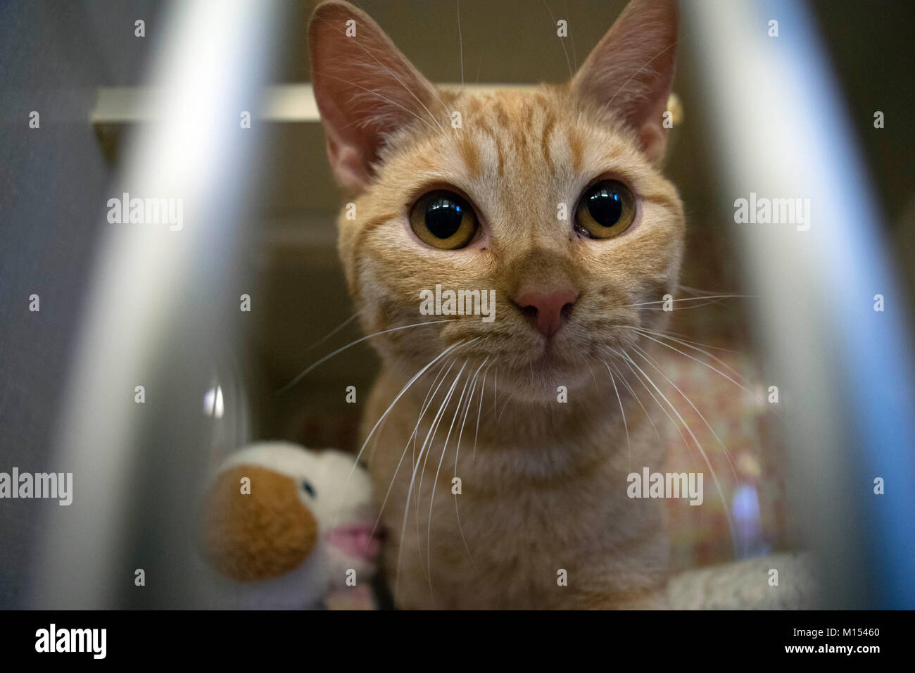 Ein Kätzchen wartet auf Annahme auf der örtlichen Tierheim. Stockbild