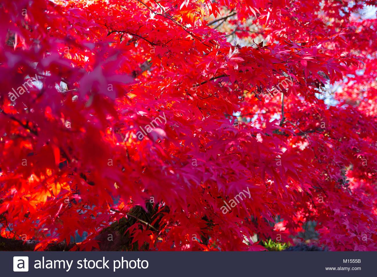 Blätter oh Nihon Stockbild