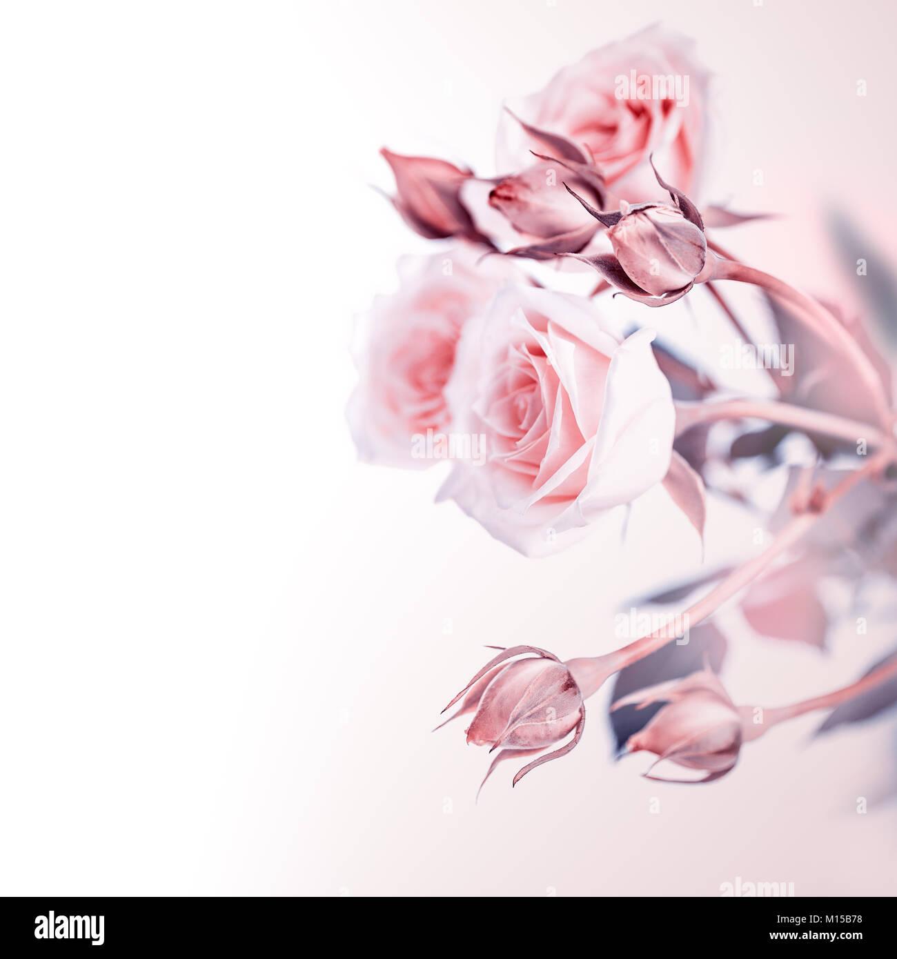 Schone Sanfte Rosa Rosen Blumenstrauss Auf Weissem Hintergrund