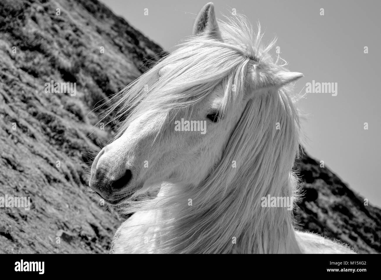White Horse Stockfoto
