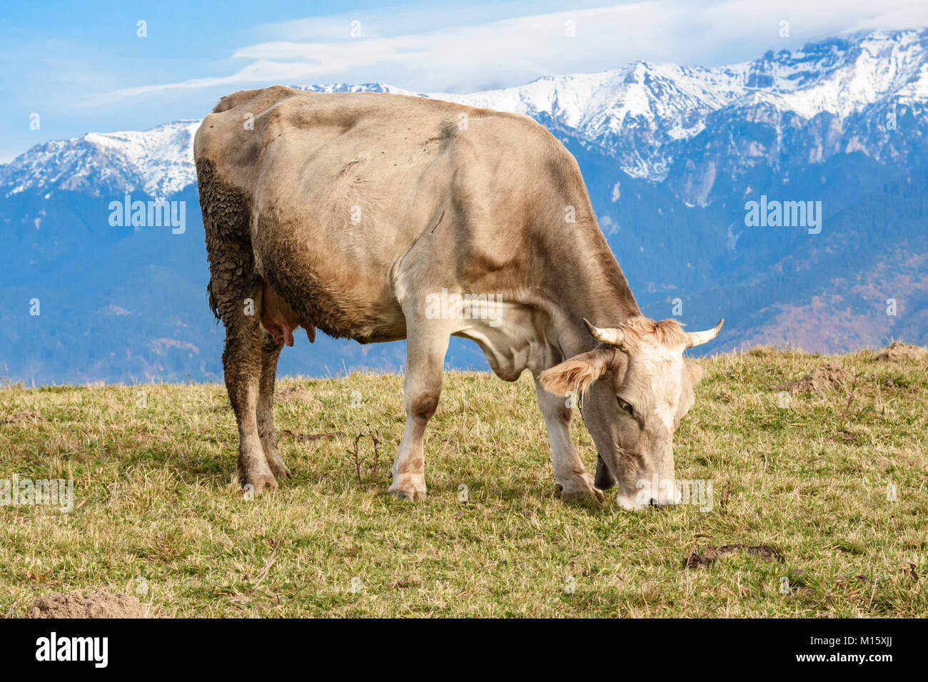 Pestera, Brasov, Rumänien: Frei grasende Kuh auf einer Wiese im ...
