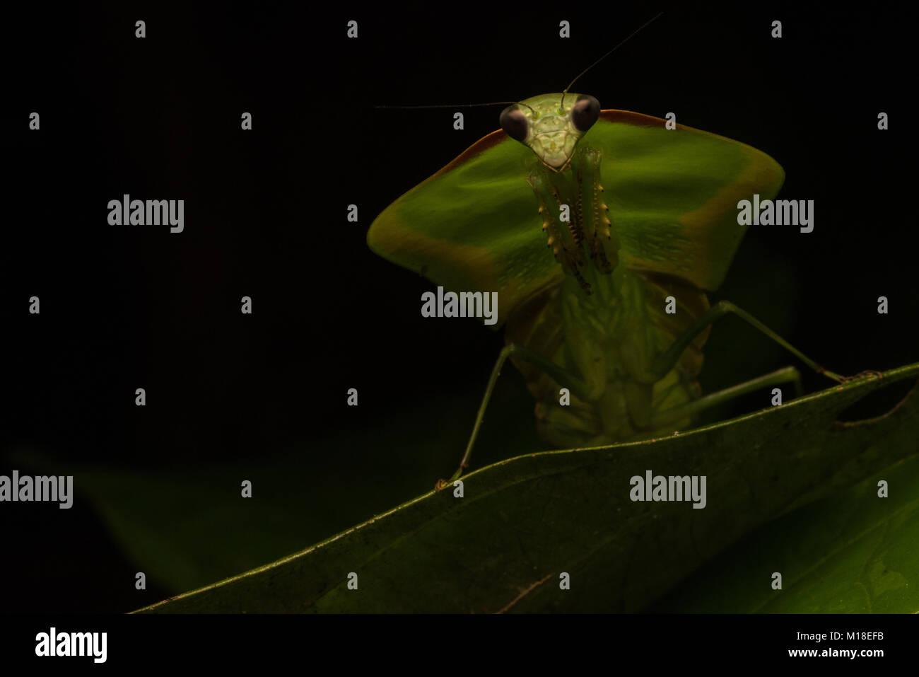 Ein Schild mantis in der Gattung Choeradodis, setzt auf seine Tarnung es sowohl von Räuber und Beute zu verstecken. Stockbild