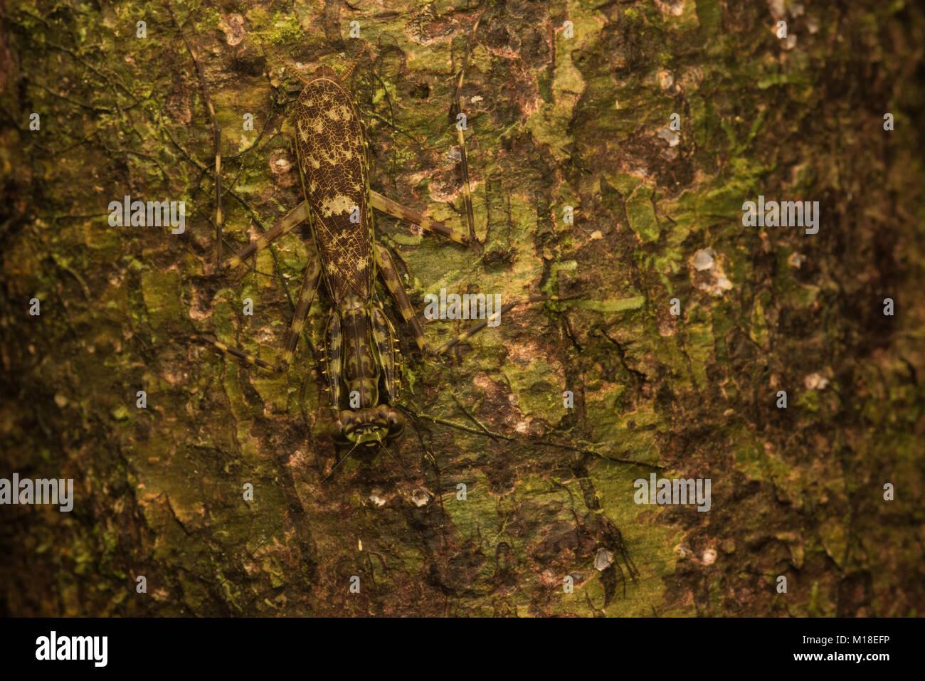 Eine flechte Mantis gegen einen bemoosten Baumstamm getarnt. Fast unmöglich, zu erkennen, aber sein dort. Stockbild