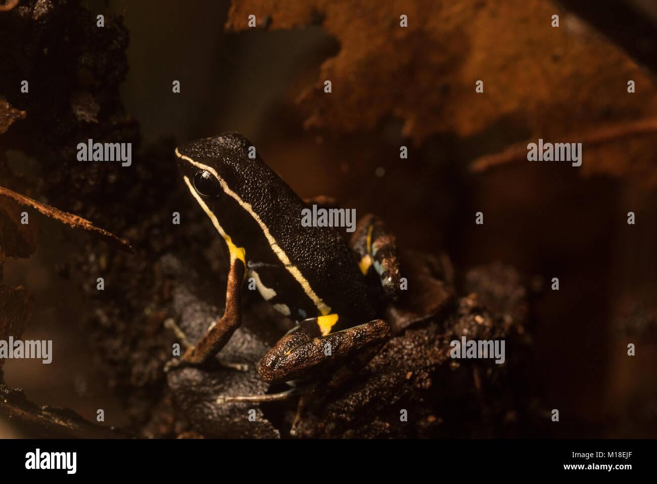 Eine brillante - thighed Pfeilgiftfrosch (Allobates Aortenprothesen) auf dem Waldboden in Kolumbien, diese Art für Stockbild