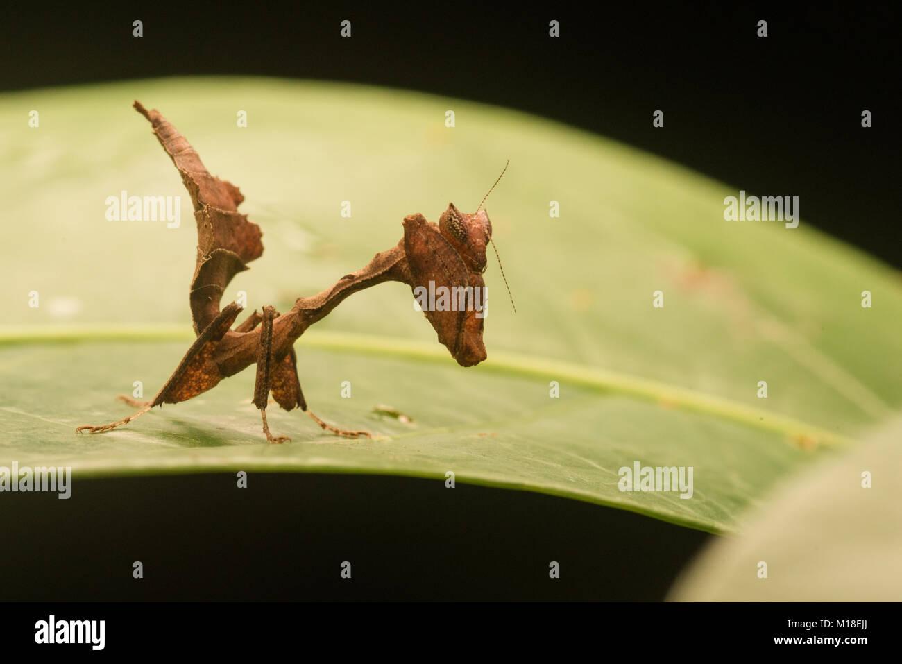 Eine kleine Kinder Blatt nachahmen Mantis (Acanthops sp) aus dem Amazonas Dschungel. Stockbild