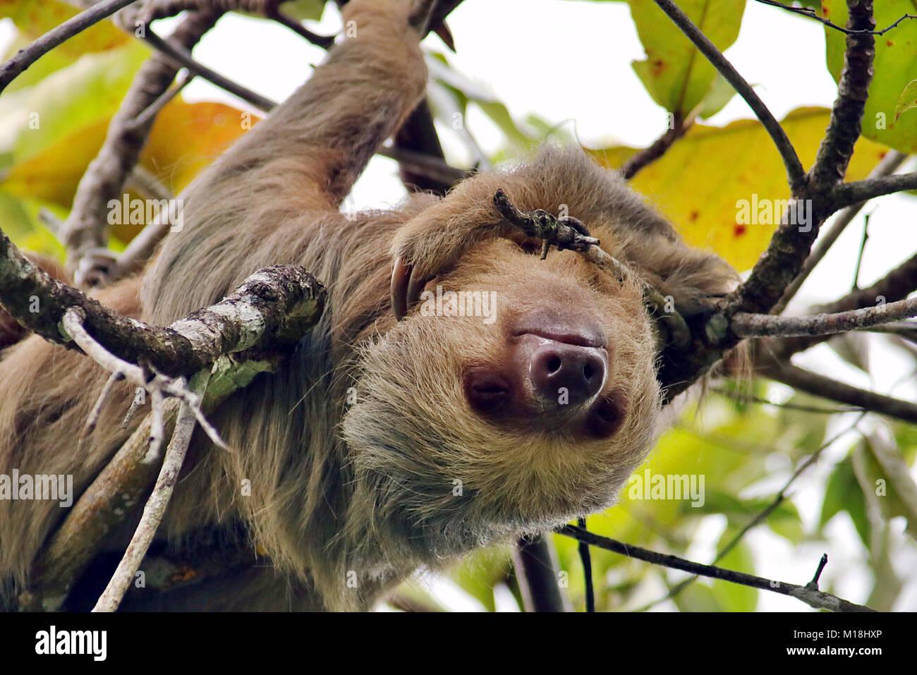 Wild Hoffmanns Zwei Toed Sloth Choloepus Hoffmanni Schlafend