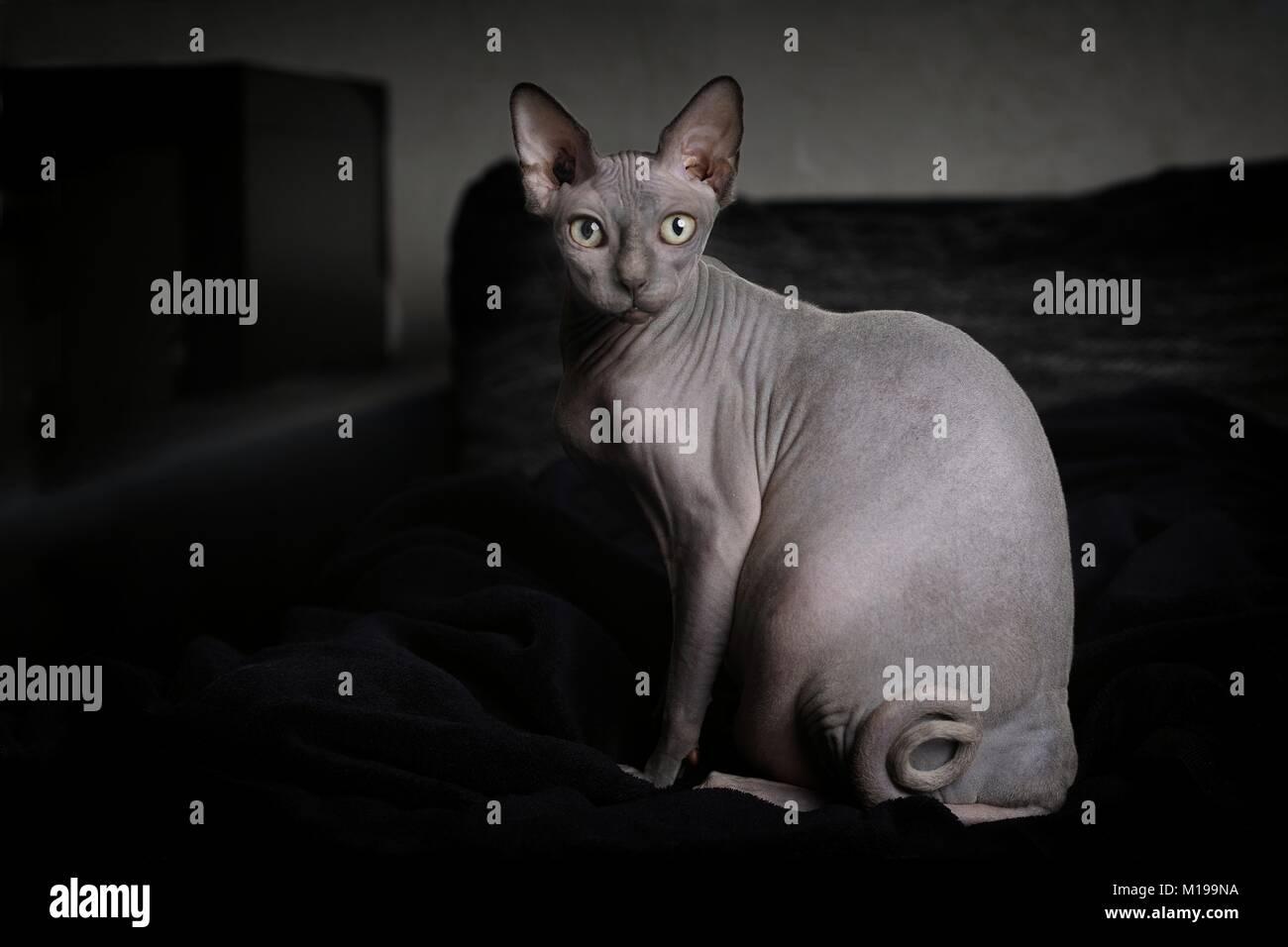 Porträt einer grauen sphynx Katze in der häuslichen Umgebung Stockbild