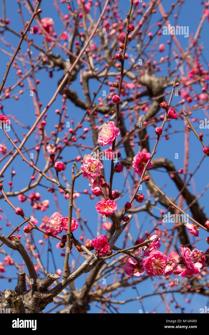 (27. Januar 2018 Osaka, Japan) Red Ume bloosoms Japanische Aprikose (Prunus) Blühende an einer Ecke der Pflaume Stockbild