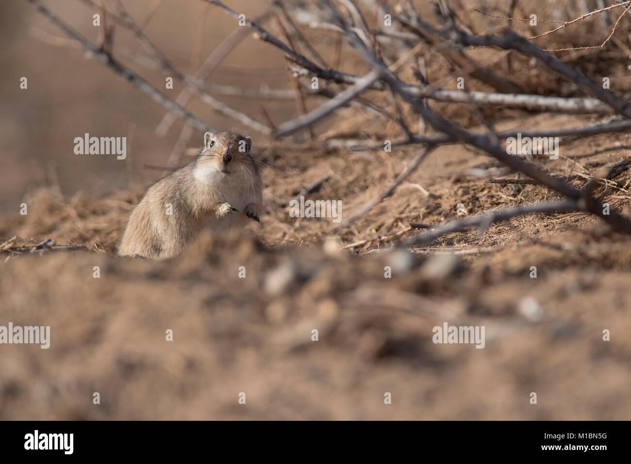 Przewalski gerbil Stockbild