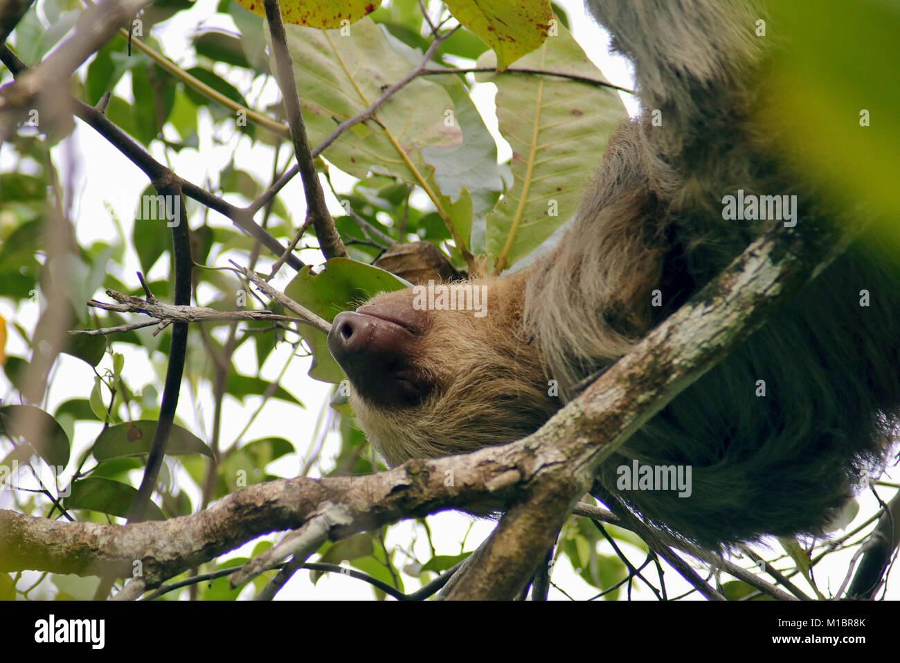 Seitenansicht Eines Wilden Hoffmanns Zwei Toed Sloth Schlafend In