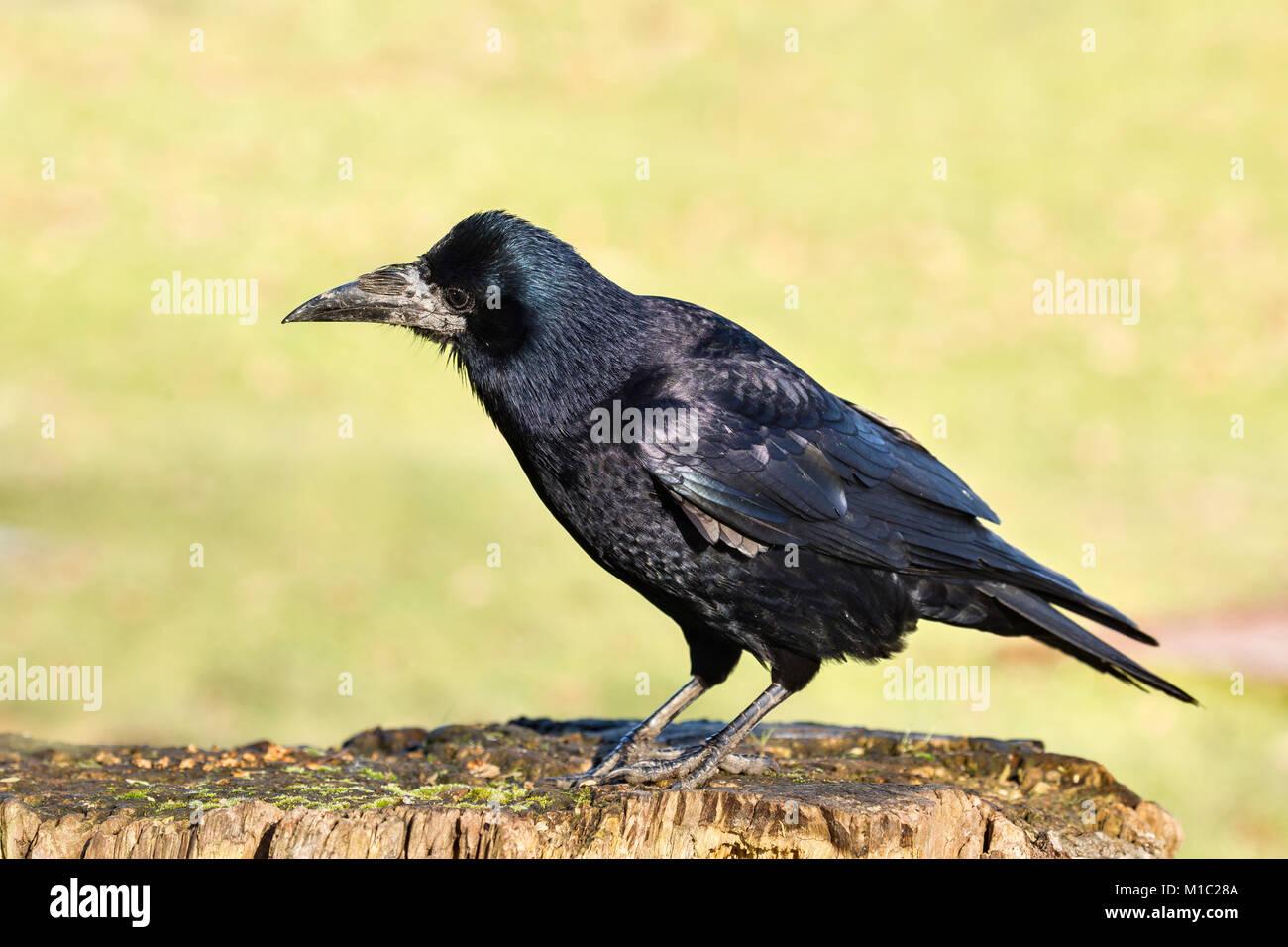 Rook, Corvus frugilegus, Wildgeflügel und Feuchtgebiete Vertrauen, Slimbridge, Gloucestershire, UK. Stockbild