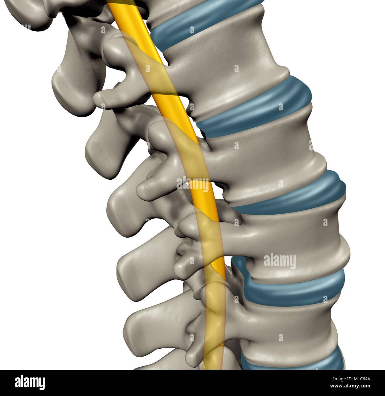 Spinal Nerve Stockfotos & Spinal Nerve Bilder - Alamy