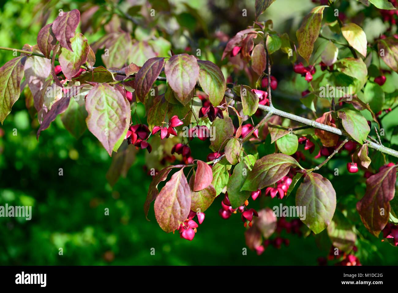 Euonymus planipes, Euonymus sachalinensis, Spindel, Sommergrünen ...