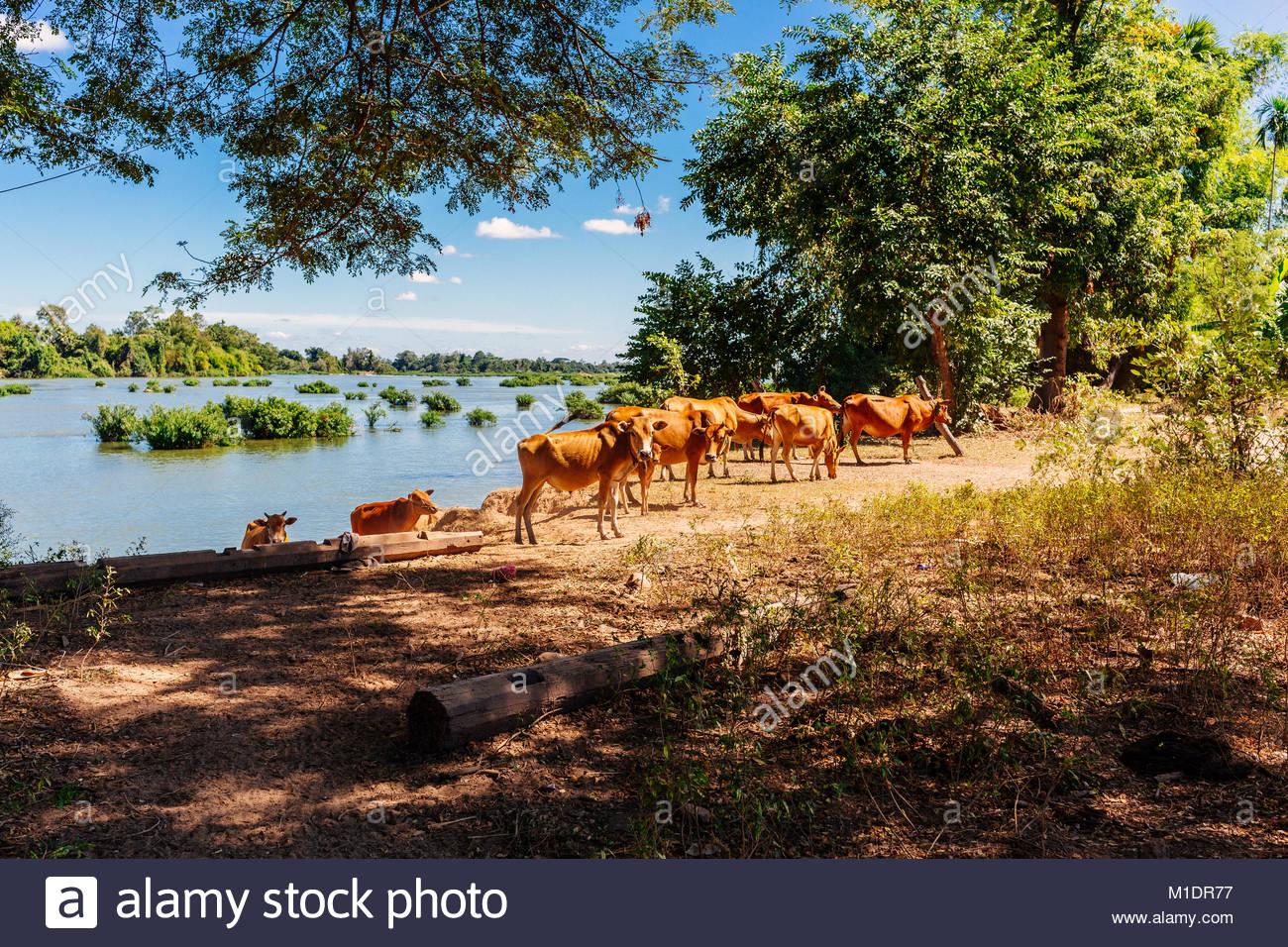 Eine Herde von Rindern auf Don Det Stockbild
