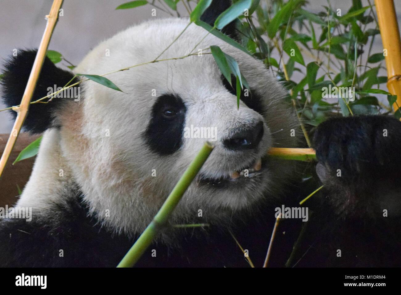 In Der Nahe Von Giant Panda Ailuropoda Lalage Bambus Essen