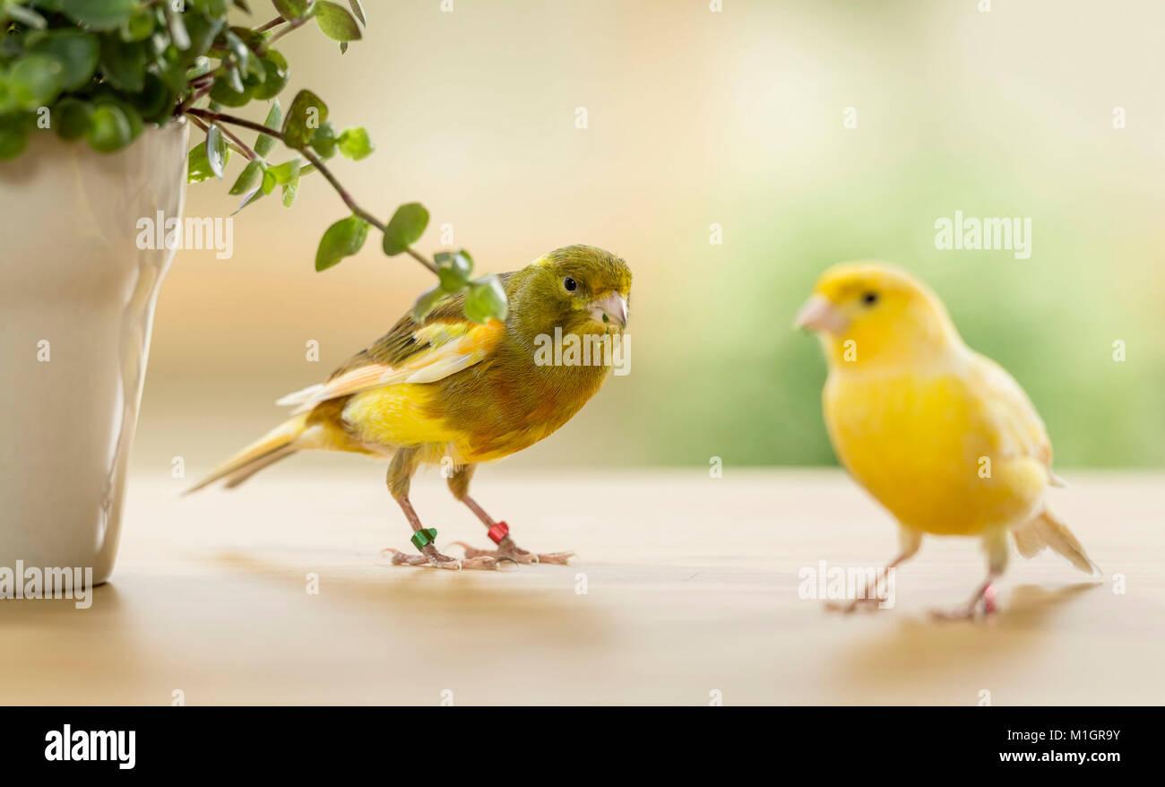 Inländische Kanarienvogel. Zwei Vögel verschiedener Farbe essen Bolivianischen Jude. Deutschland Stockbild