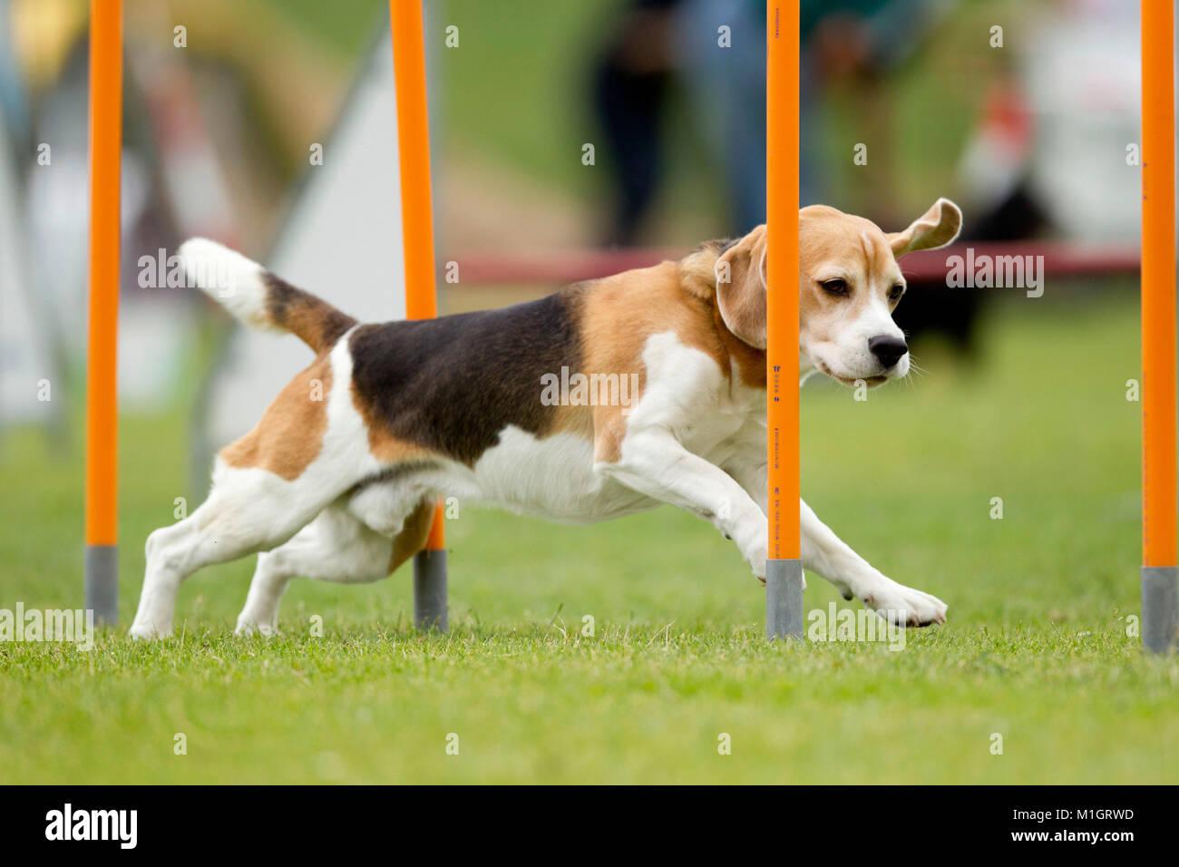 Beagle. Erwachsener Hund demonstrieren schnell Webart Pole in einem Hindernisparcours. Deutschland. Stockbild