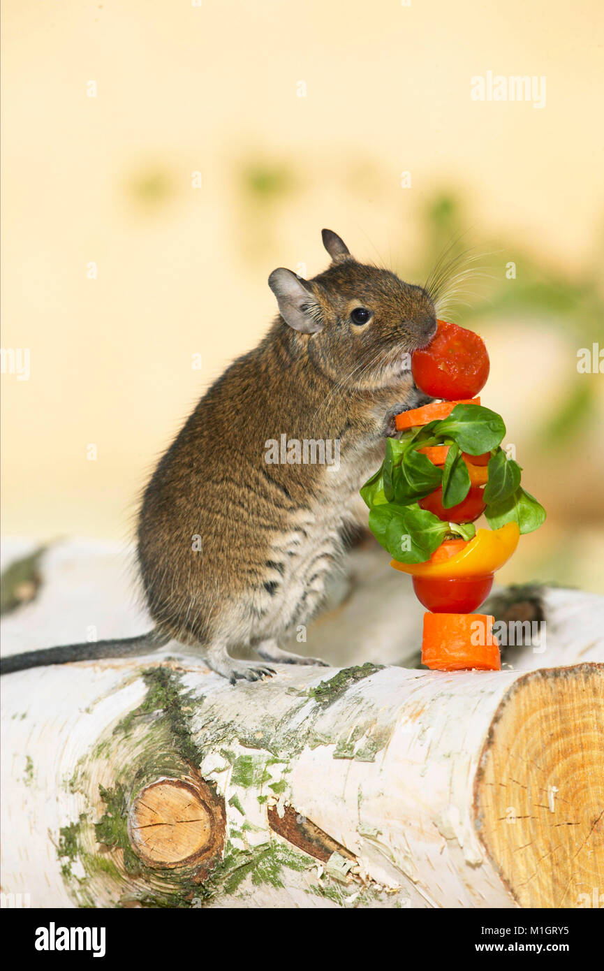 degu octodon degus nach dem essen von obst und gem se spie deutschland stockfoto bild. Black Bedroom Furniture Sets. Home Design Ideas