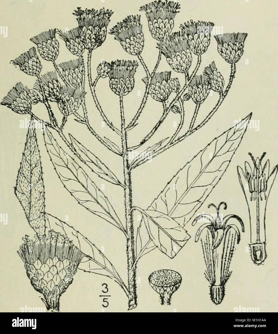 Eine Illustrierte Flora von der nördlichen USA, Kanada und die britischen Besitzungen - von Neufundland zu den Parallelen der südlichen Grenze von Virginia und vom Atlantik westwärts nach (14781691304) Stockfoto