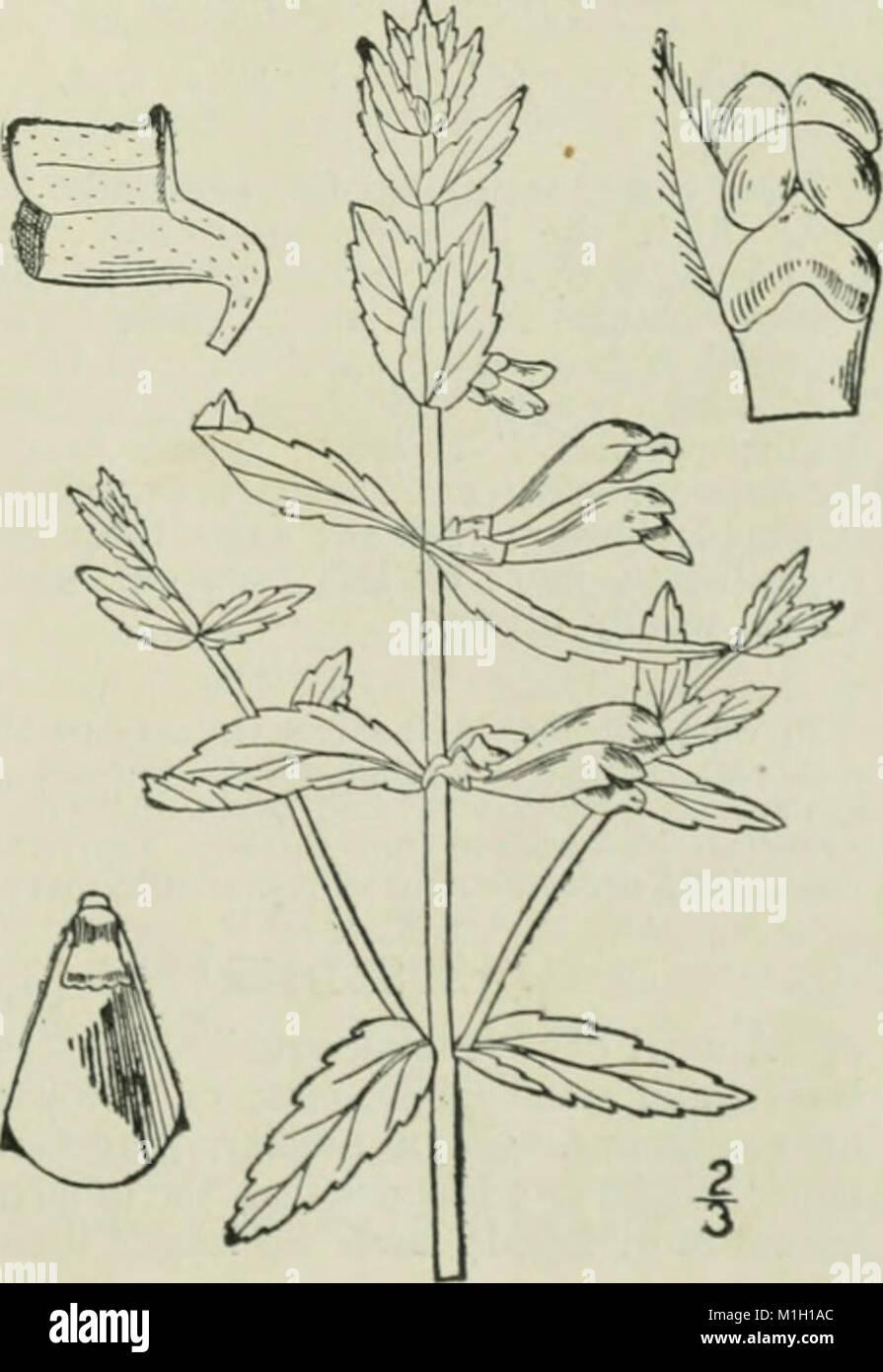 Eine Illustrierte Flora von der nördlichen USA, Kanada und die britischen Besitzungen - von Neufundland zu den Parallelen der südlichen Grenze von Virginia und vom Atlantik westwärts nach (14597131178) Stockfoto