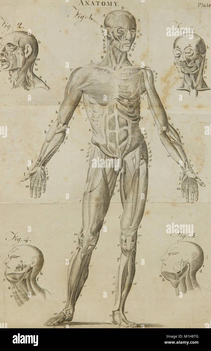Gemütlich Bauch Muskelanatomie Fotos - Anatomie Ideen - finotti.info