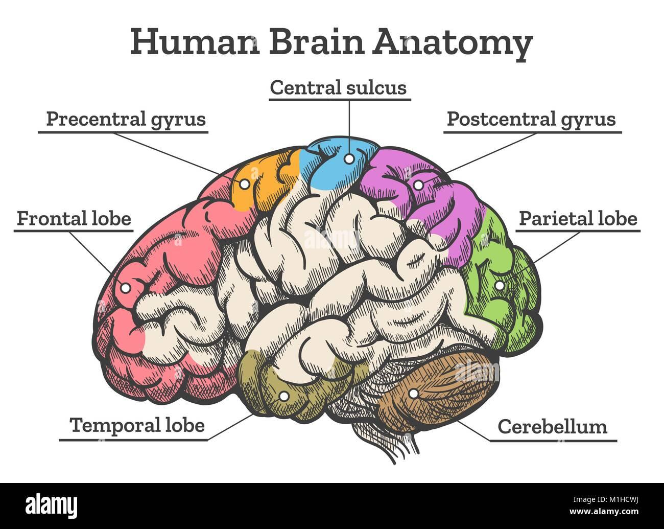 Die menschliche Anatomie des Gehirns Diagramm. Abschnitte von Kopf ...