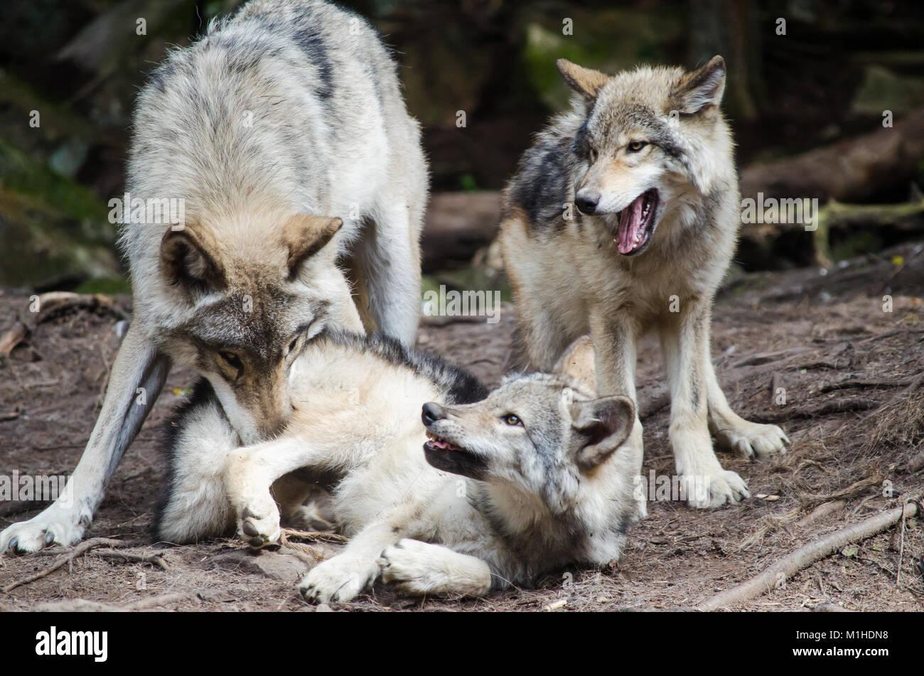 Mutter Grauer Wolf Und Baby Wolf Spielt Im Wald Stockfoto Bild