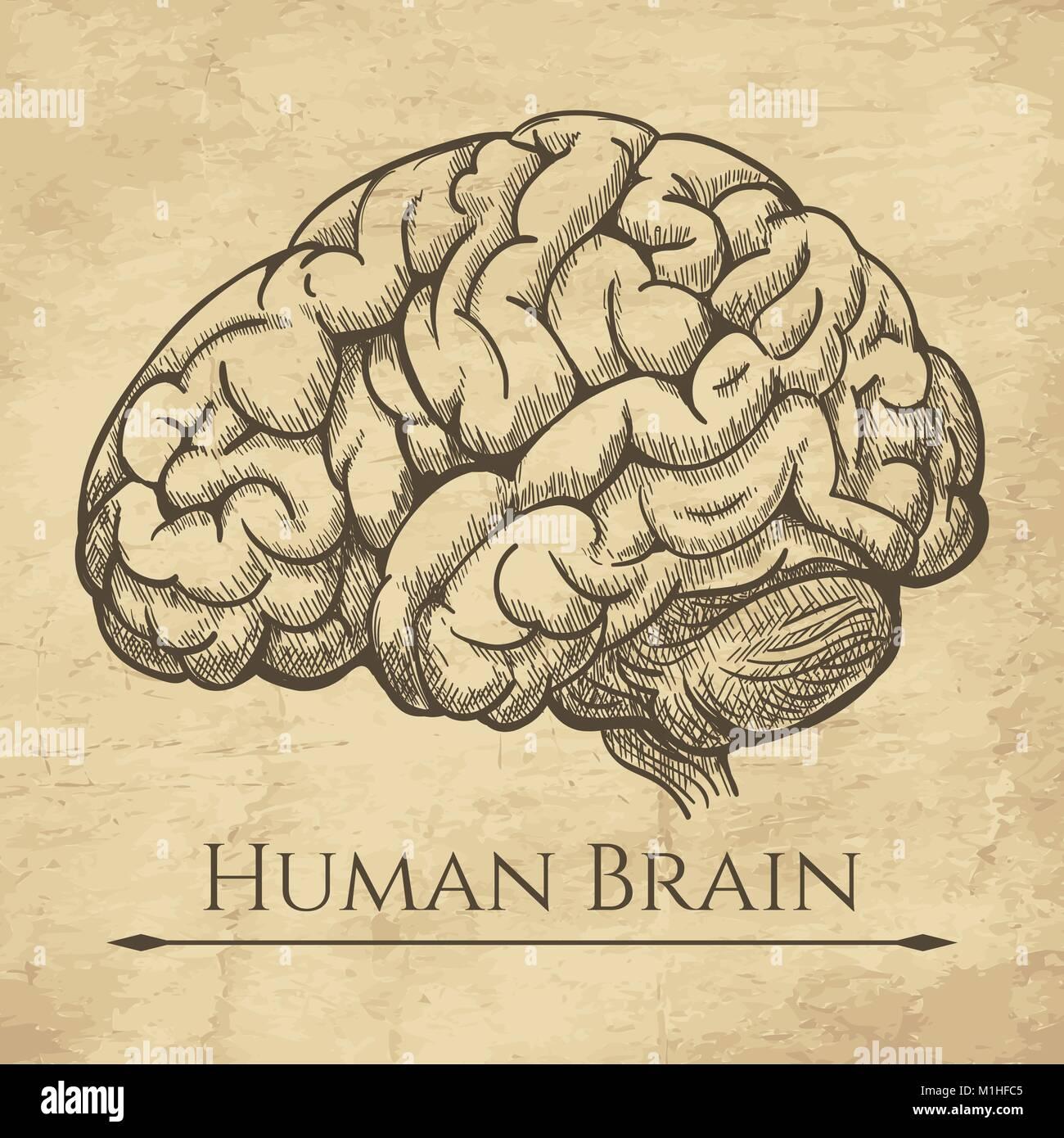 Gehirn retro anatomische Ätzen. Anatomische Gehirne alte Zeichnung ...