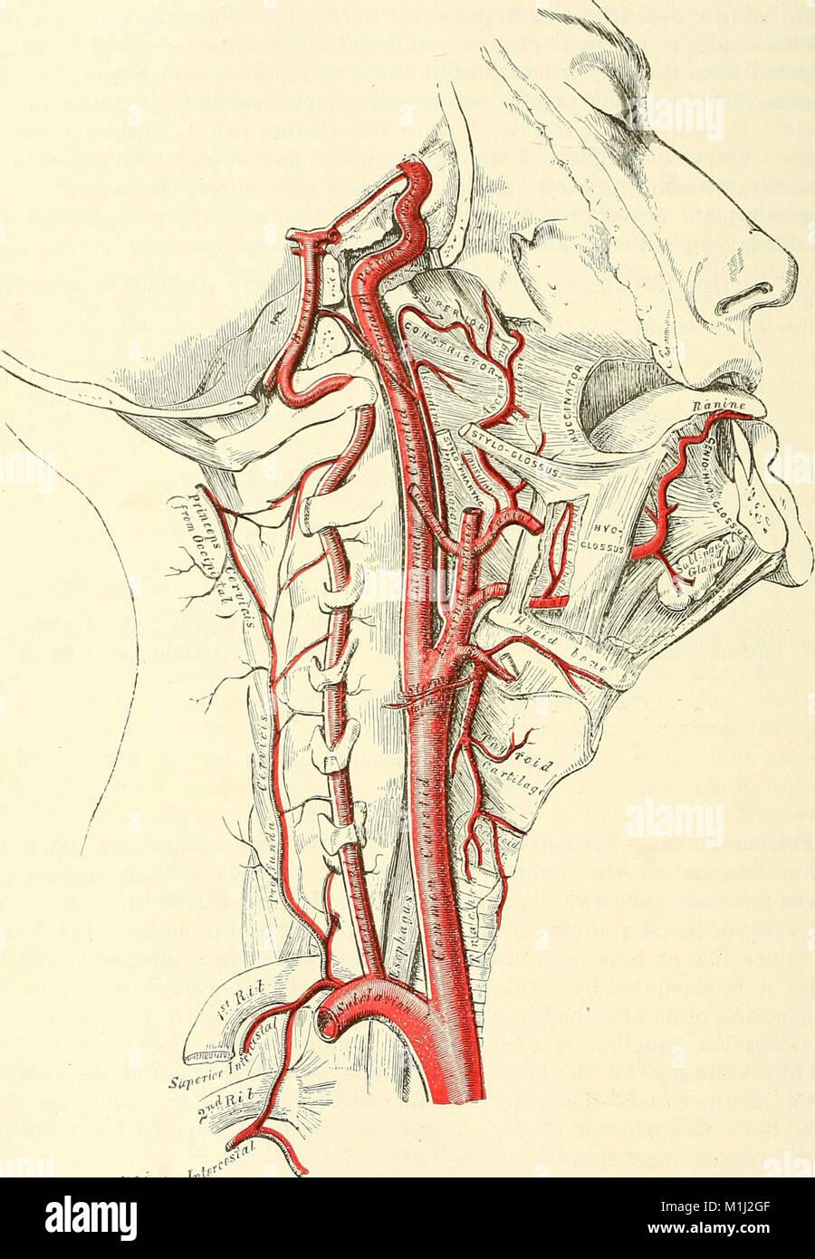 Atemberaubend Anatomie Beschreibend Und Chirurgische Von Henry Gray ...