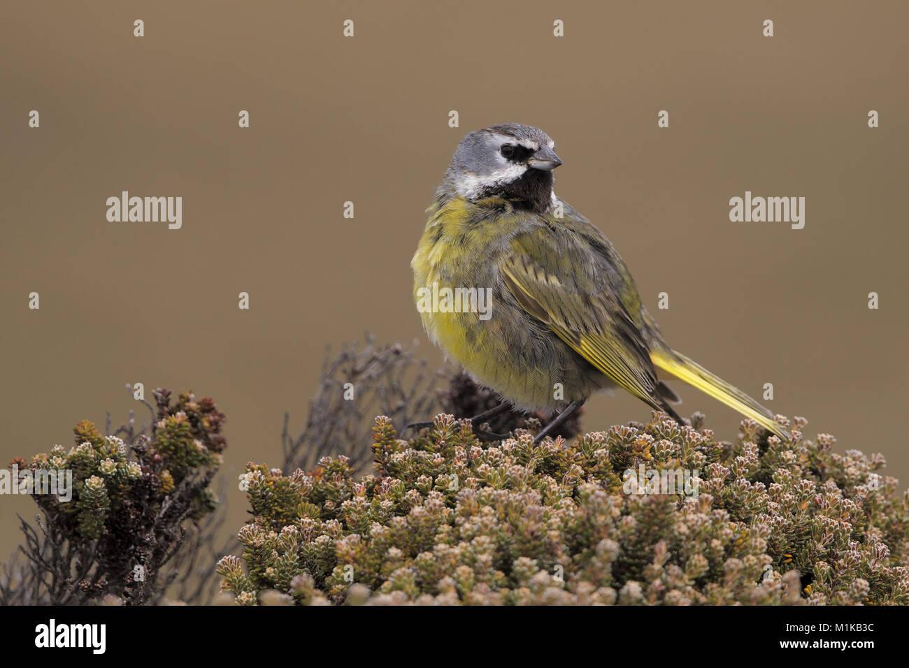 Black-throated Finch Stockbild