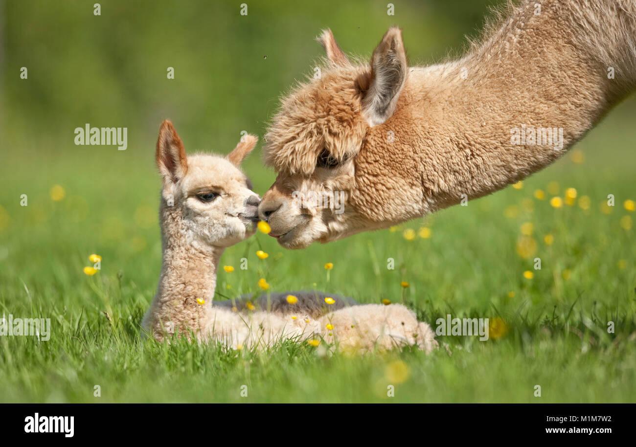 Alpaka (Lama pacos, Vicugna pacos). Mutter schnüffeln an den Jungen auf einer Wiese. Deutschland Stockbild