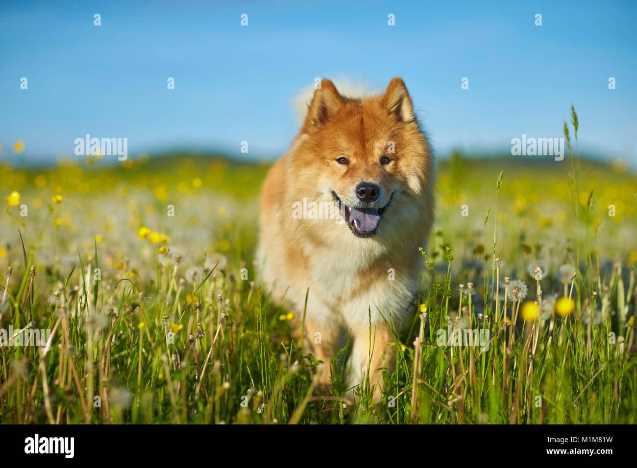 Eurasier, Eurasien. Erwachsener Hund zu Fuß in einer Wiese. Deutschland Stockbild