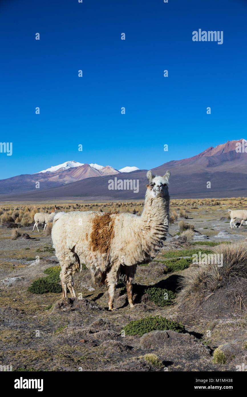 Die Anden-Landschaft mit Herde von Lamas, mit dem Vulkan Parinacota auf Hintergrund. Stockbild