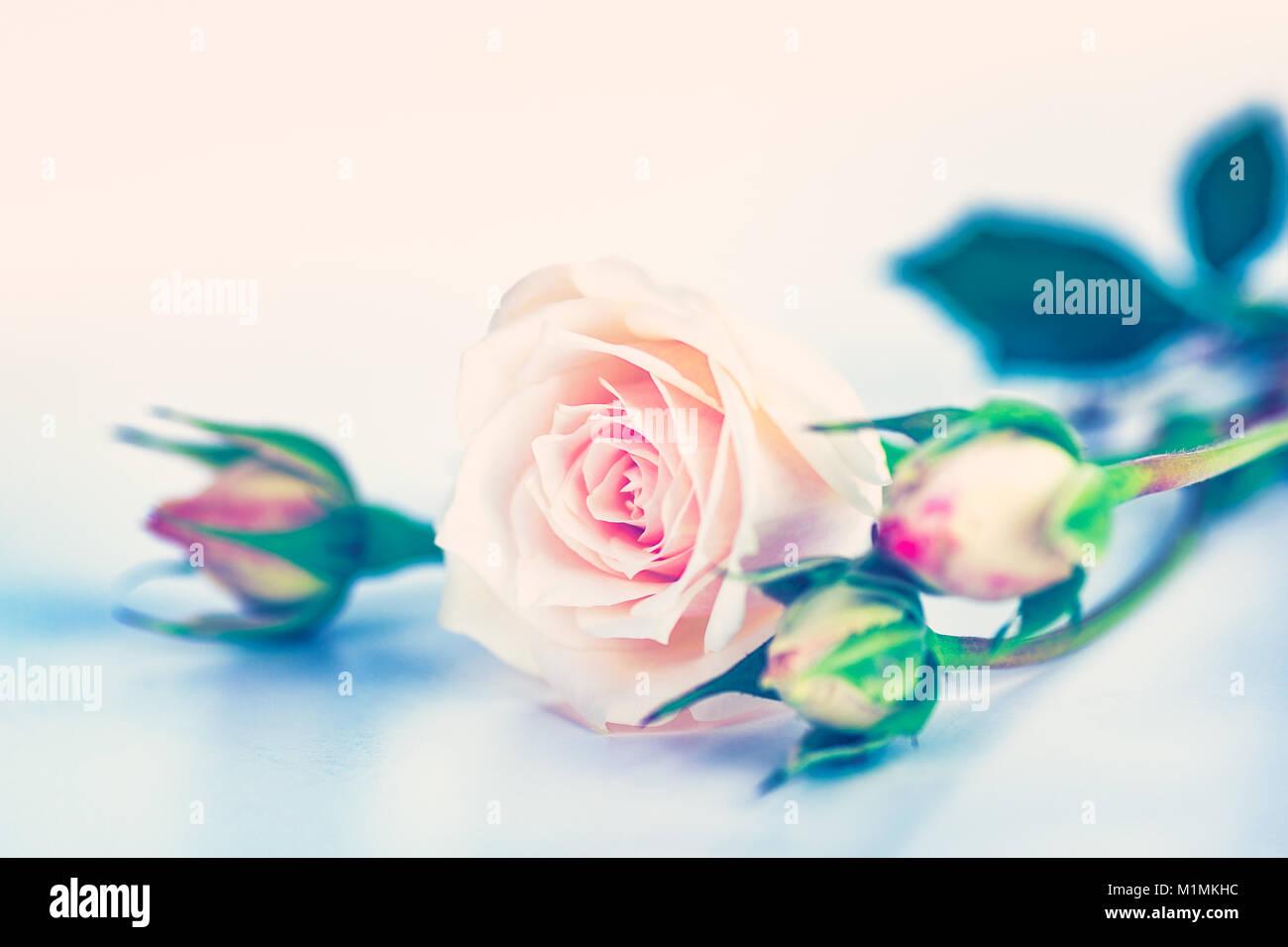 Verträumt Rosa Rosen Schöne Blumen Blumenstrauss über Lite