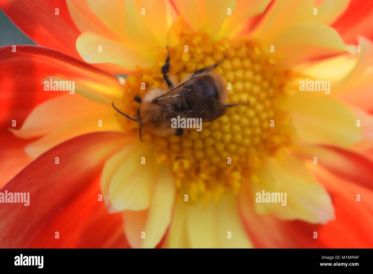 Bee Pollen sammeln von Calendula Stockbild