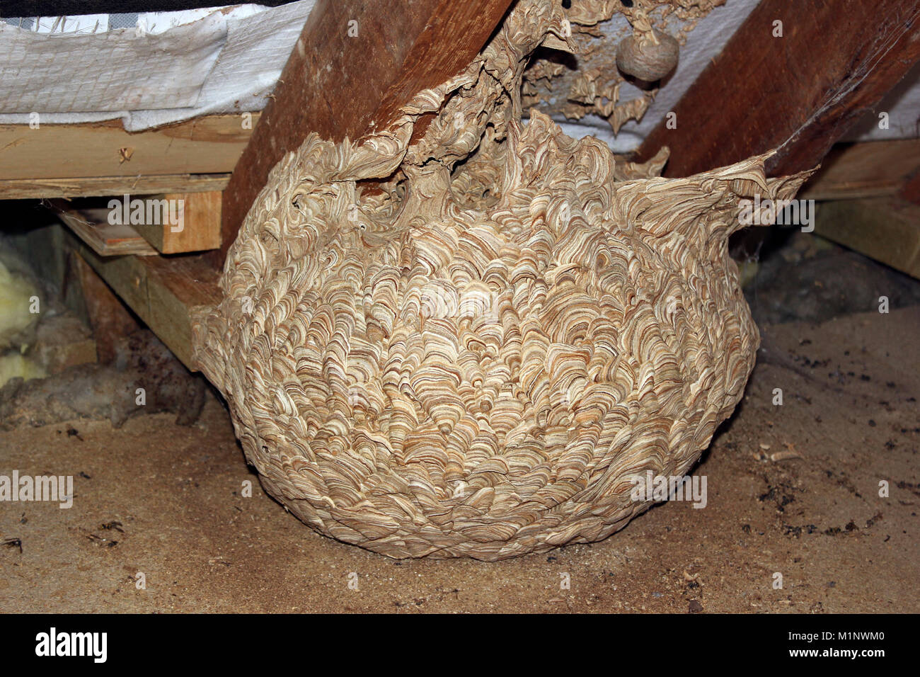 Wespen nest attached Sparren im Dachboden zu Haus