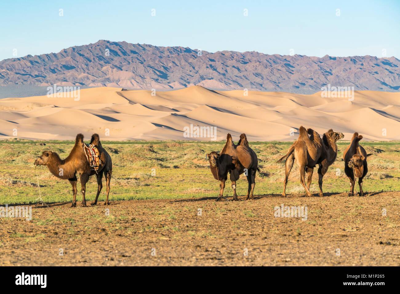 Kamele und Sanddünen der Wüste Gobi im Hintergrund, Sevrei Bezirk, Provinz im Süden der Wüste Stockbild
