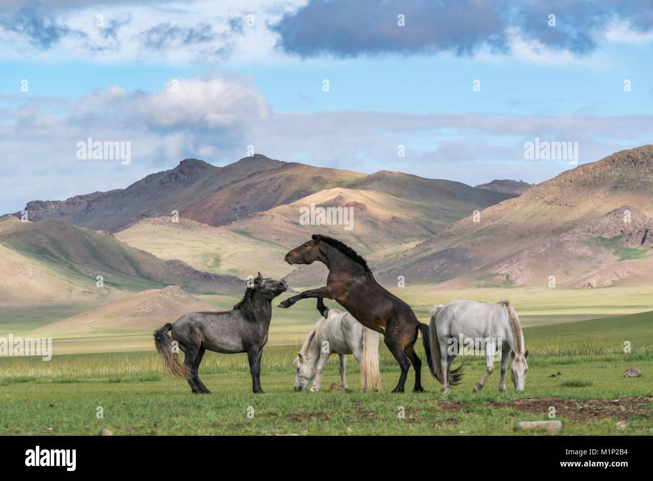 Wilde Pferde spielen und Beweidung und Khangai Gebirge im Hintergrund, Provinz Hovsgol, Mongolei, Zentralasien, Stockbild