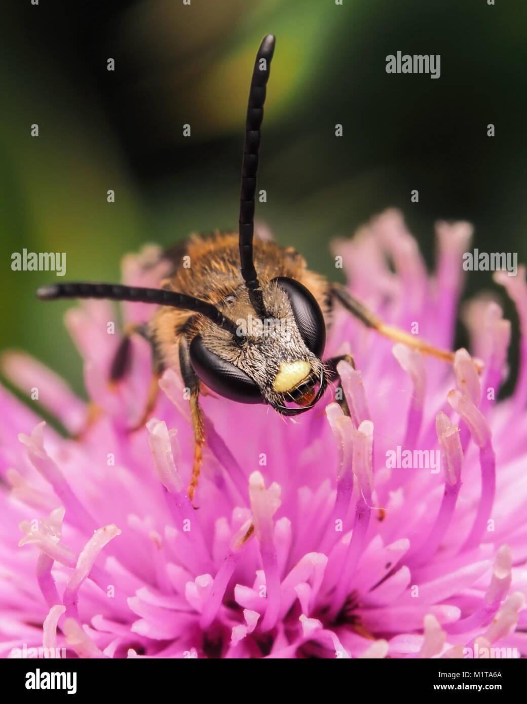 Gemeinsame Furche - Biene (Lasioglossum calceatum) thront auf einer Distel. Eine Nahaufnahme Foto von den Kopf. Stockbild