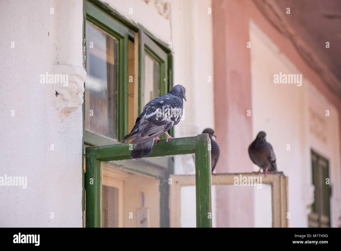 Fenster Essen tauben sitzen auf fenster warten auf das essen vögel in ein