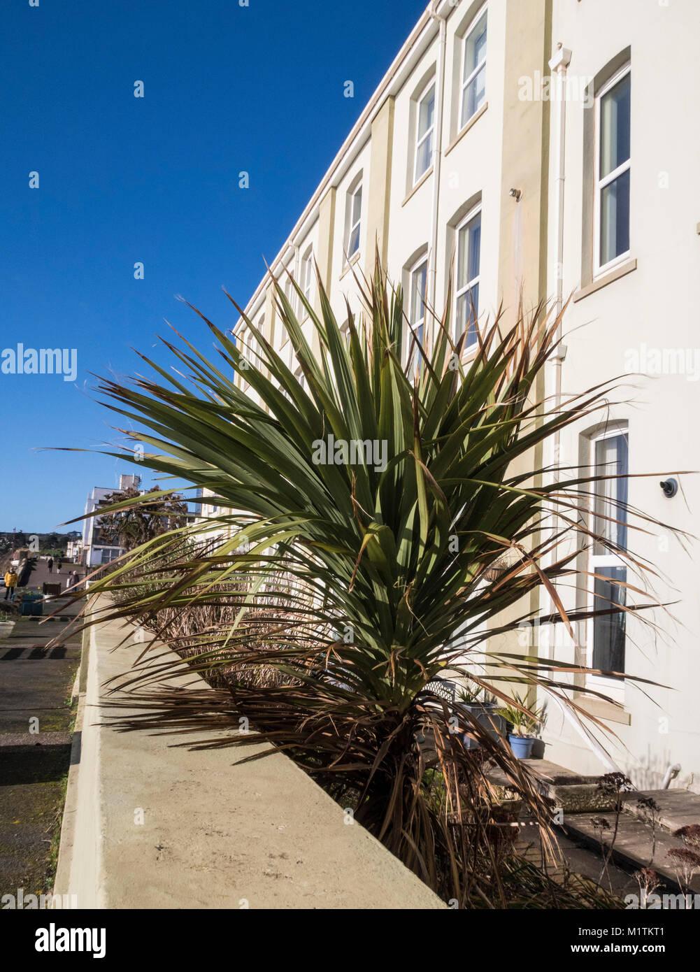 Cordyline Pflanze, die an der Küste von Seaton, in Devon. Stockbild