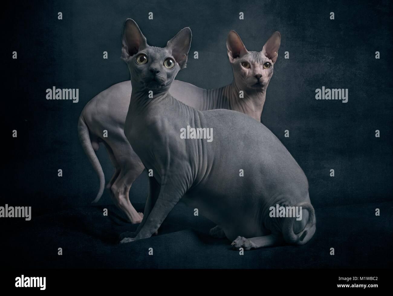 Zwei süße Sphynx Katzen auf dunklem Hintergrund Stockbild