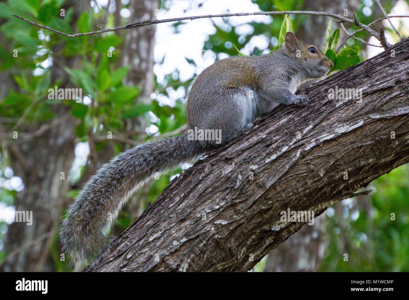 USA, Florida, Eichhörnchen sitzt auf Baumstamm im Park auf Key Biscayne Stockfoto